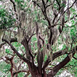 Oak by Richard Michael Lingo - Nature Up Close Trees & Bushes ( moss, georgia, nature, tree, oak )
