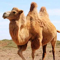 The Camel icon