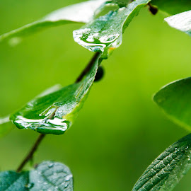 After a rain by Scott Thomas - Abstract Water Drops & Splashes ( rain, green, nature, tree, water )