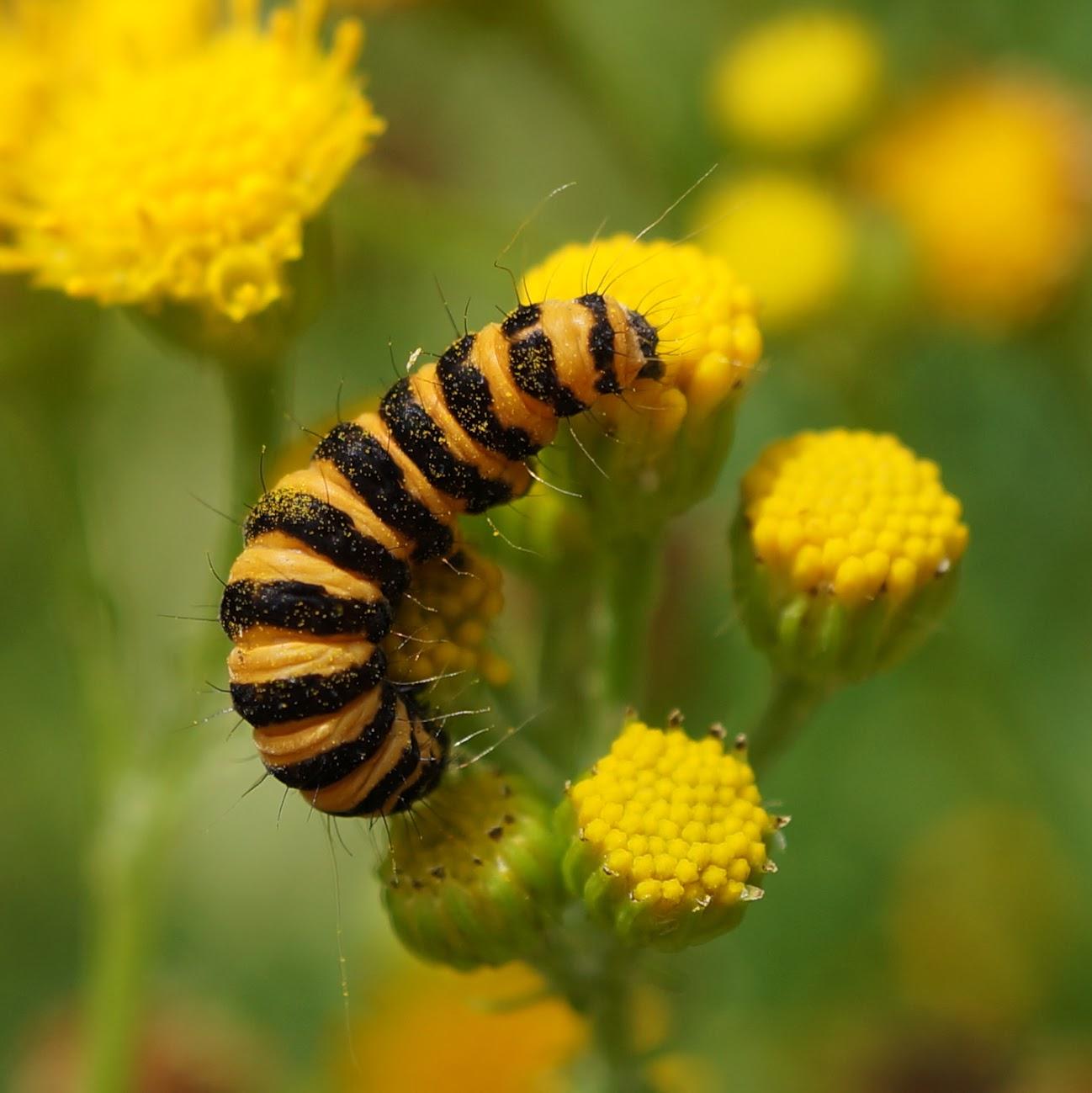 Sint-jacobsvlinder (rups) - Tyria jacobaeae
