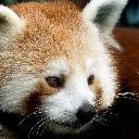 Little Panda Hot Animals HD New Tabs Theme