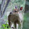 Female white-tailed deer (doe)