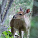 Female white-tailed deer (doe)