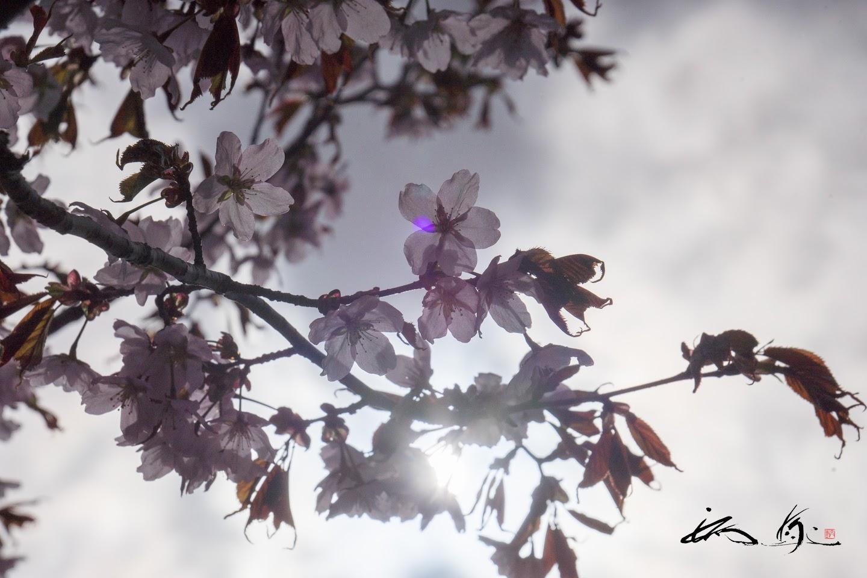 生命の光を宿す桜