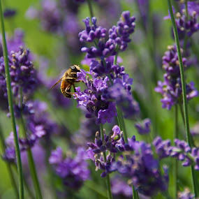 Bee Free by Rebecca Roy - Animals Insects & Spiders ( macro, macro flower, purple, lavender field, macro photography, bee, purple flowers, lavendar, lavender, macro shot, lavendar field,  )