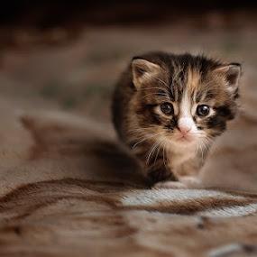 Searching Home by Dmitriev Dmitry - Animals - Cats Kittens ( kitten, cat, homeless, little, kitty )