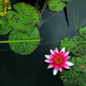 Pink Lotus by Lucija Janša - Nature Up Close Water