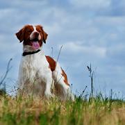 Epagneul Breton Dog Wallpapers