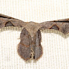 Scoop Wing Moth