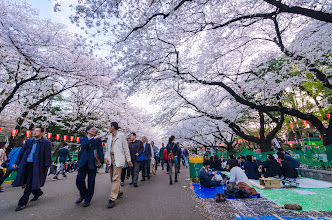 Photo: Cherry Blossoms at full bloom at Ueno Koen in Tokyo, Japan