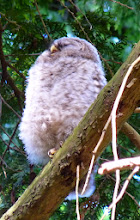 Photo: Barred Owlet at about 8 weeks old - look at those long eyelashes