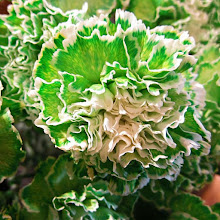 Photo: colorful Green and white carnation closeup flower