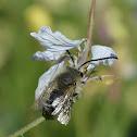 Long-Horned Bee?