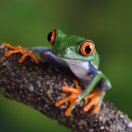 Chilean Red-eyed Tree frog on a branch by Fiona Etkin - Animals Amphibians ( macro, big eyes, nature, frog, amphibian, close up, chilean red-eyed tree frog, animal,  )