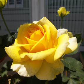 Рози by Georgi Kolev - Flowers Flower Gardens ( жълт., ден., светлина., рози., листа. )