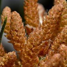 Photo: Pinus sp., pino