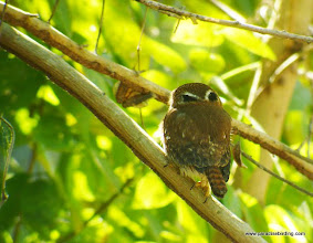 "Photo: Ferruginous Pygmy-Owl on Peso Island, showing the ""eyes oin the back of his head"""