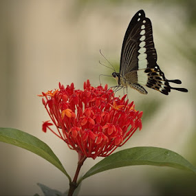 Butterflies and flowers by Ibe Lase - Animals Other