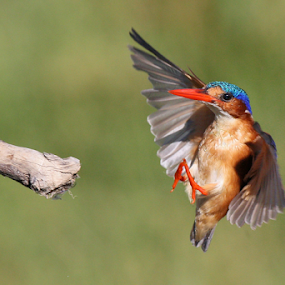 Final Approach by Neal Cooper - Animals Birds ( malachite king fisher )