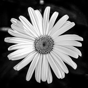 surrey daisy 01 bw.jpg