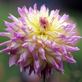 Dahlia 9327 by Raphael RaCcoon - Flowers Single Flower