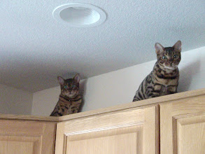 Photo: October - Bengals are climbers - Vladimir and Roxanna are now a pair and talk to each other.