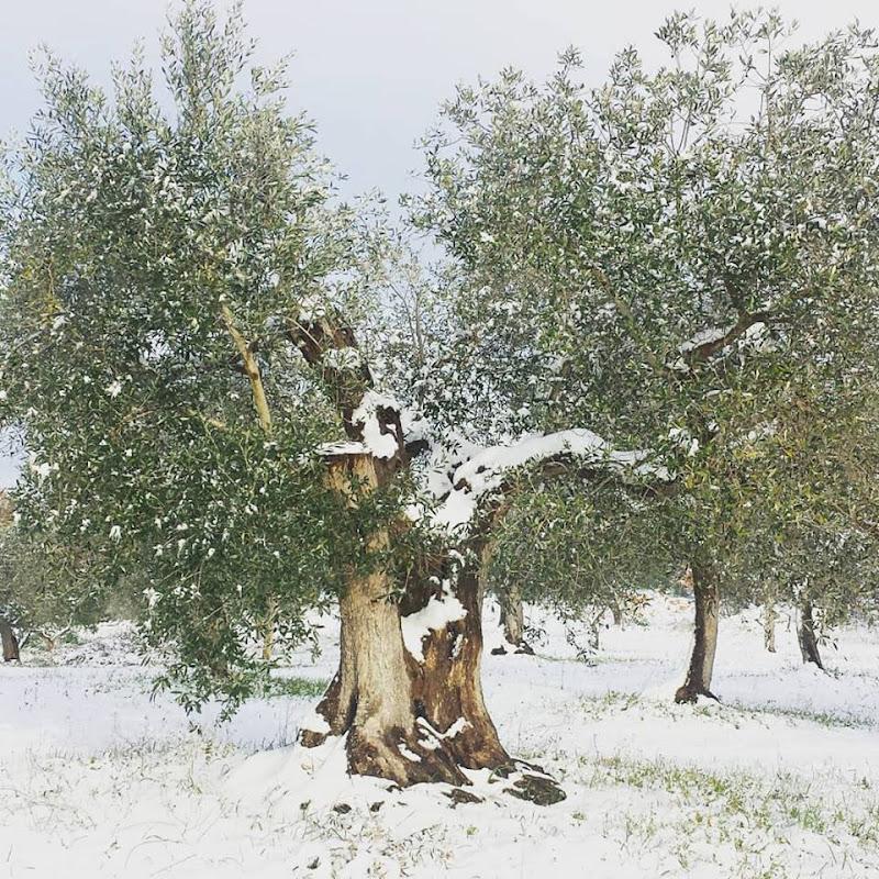 Albero d'ulivo innevato. di tinaconte86