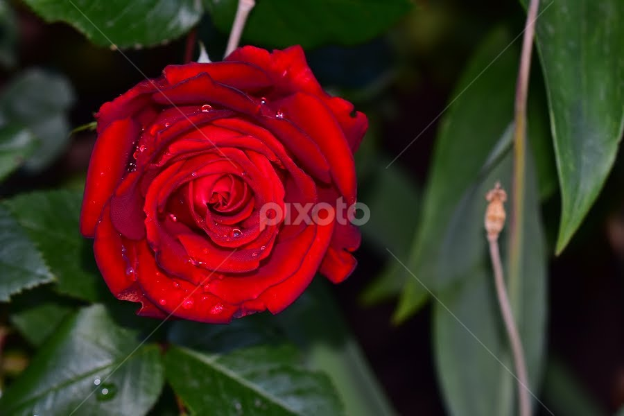 beautiful red rose flower by LADOCKi Elvira - Flowers Flower Gardens ( floral, nature, plants, tree, blossoms, insect, garden, animals, flower )