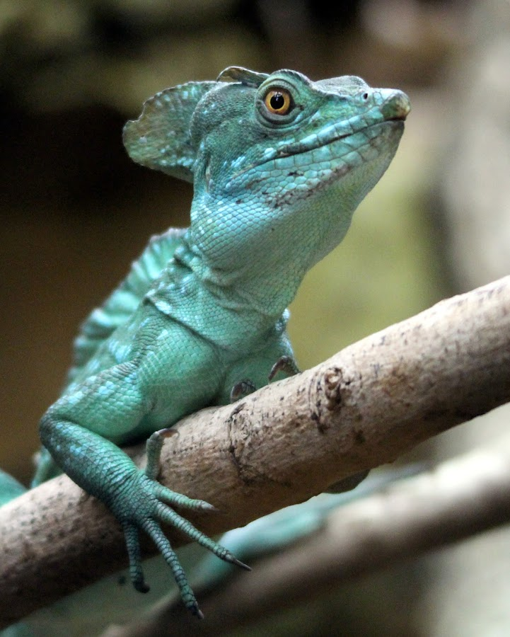Plumed Basilisk by Ralph Harvey - Animals Reptiles ( wildlife, basilisk, bristol zoo, ralph harvey, reptile )