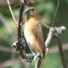 Scaly-breasted Munia (Juvenile)