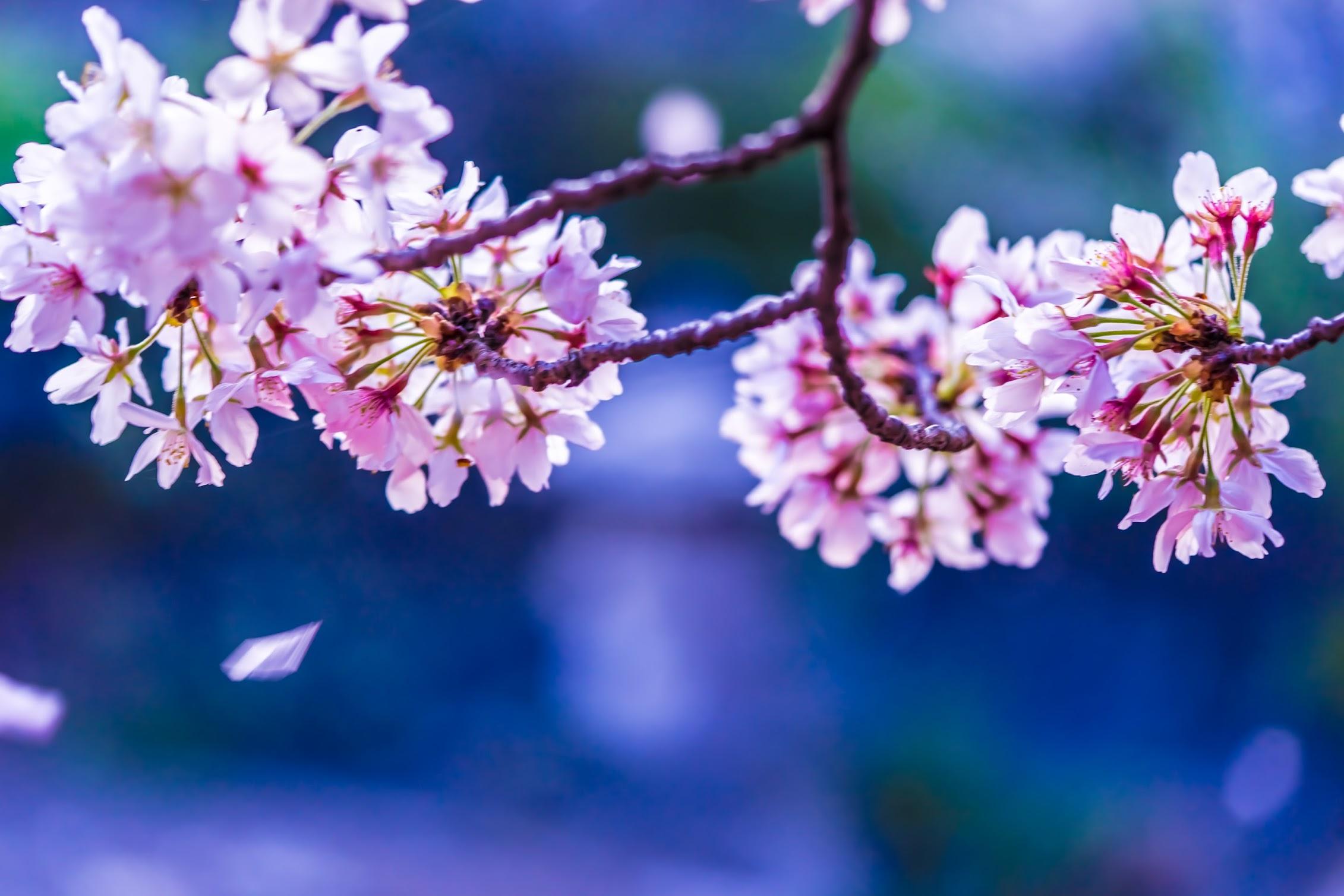 京都 六孫王神社 桜4