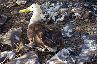 Photo: Baby Peeking Out from Mother Albatross