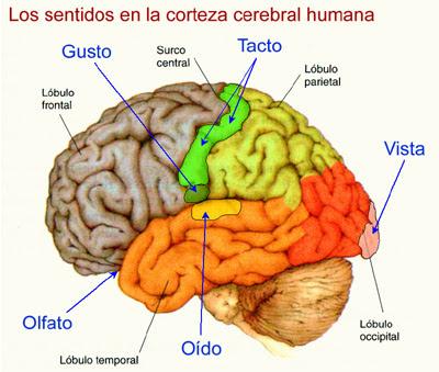 Regiones sensoriales en el cerebro
