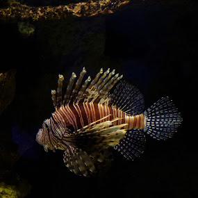 Lion Fish by Dyane Kirkland - Animals Sea Creatures ( nature, salt water fish, fish, lion fish, poisonous fish, ocean life, sea creatures, underwater life )