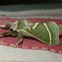 Splendid Ghost Moth - male