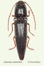 Photo: unidentified (4), 18,3 mm, Costa Rica, Corcovado NP (08°27´/-83°29´), leg. Erwin Holzer