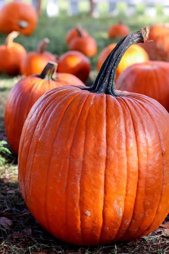 pumpkin patch by Asya Atanasova - Public Holidays Halloween ( orange, outdoor, fall, autumn colors, pumpkin patch, autumn, pumpkin )