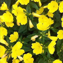 Photo: A bunch of yellow flowers #intercer #flowers - via Instagram, http://instagr.am/p/Lfmlzspfiu/