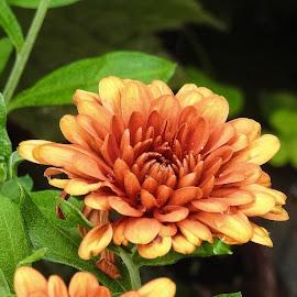 by Gerard Hildebrandt - Flowers Flower Buds