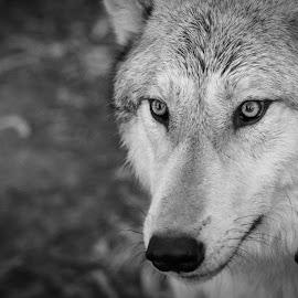 Wise Wolf Eyes by Viks Pix - Animals - Dogs Portraits ( hidden, husky, wolf, secret, eyes, wolves, eye, malamute, hybrid, wise, wolfdog, dog, wild )