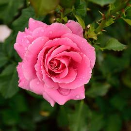 by Antonio Lobato - Flowers Single Flower ( flowers, gardens, rosebud, spokane, flower garden, rose garden, roses,  )