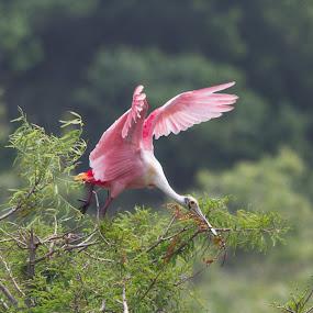 Roseate Spoonbill by Jan Davis - Animals Birds ( animals, nesting, birds,  )