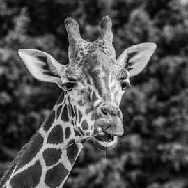 Giraffe by Garry Chisholm - Black & White Animals ( banham, mammal, nature, giraffe, garry chisholm )