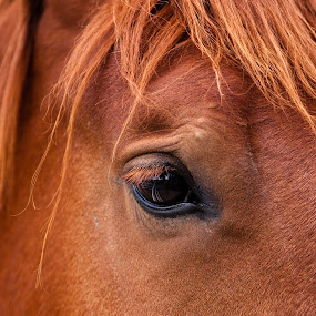 Eye of the Beholder by Shaun Schlager - Animals Horses ( north dakota, red, zoo, horse, brown,  )