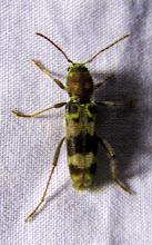Photo: Xylotrechus colonus (longhorn beetle)