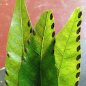 Insect eggs in custard apple leaves