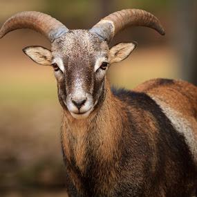 Big Horn, Big Attitude by Bill Killillay - Animals Other Mammals