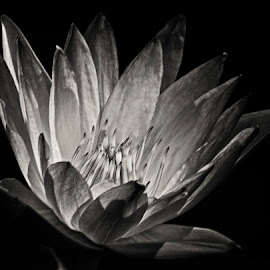 Water lily by David Winchester - Black & White Flowers & Plants (  )