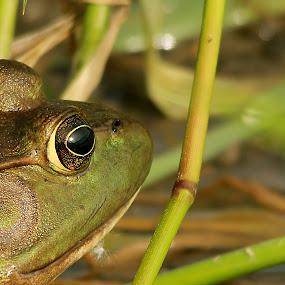 Bullfrog by Michel Lapensée - Animals Amphibians
