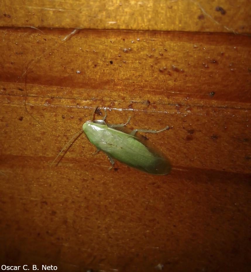 Green Cockroach / Barata-Verde